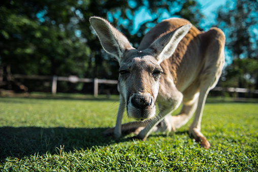 Curious kangaroo 1022325716