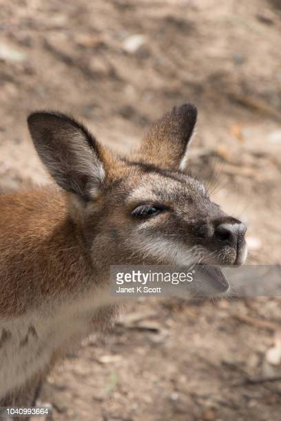 curious kangaroo - janet scott stock pictures, royalty-free photos & images
