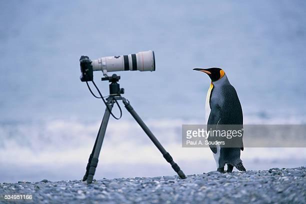 A Curious King Penguin
