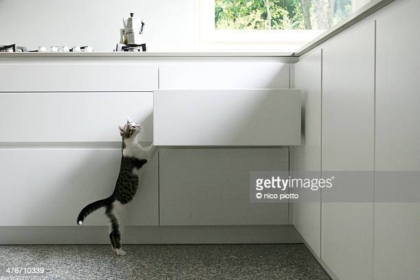 Curious Kitten climbing White Kitchen Drawer