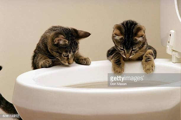 curious kittens watching water flush in toilet - ネコ科 ストックフォトと画像