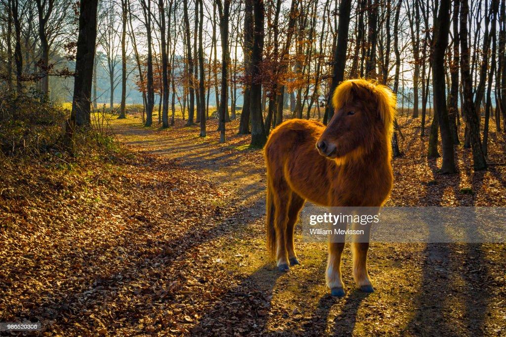 Curious Konik Horse : Stockfoto