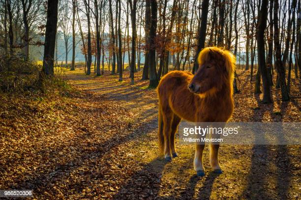 curious konik horse - william mevissen stockfoto's en -beelden