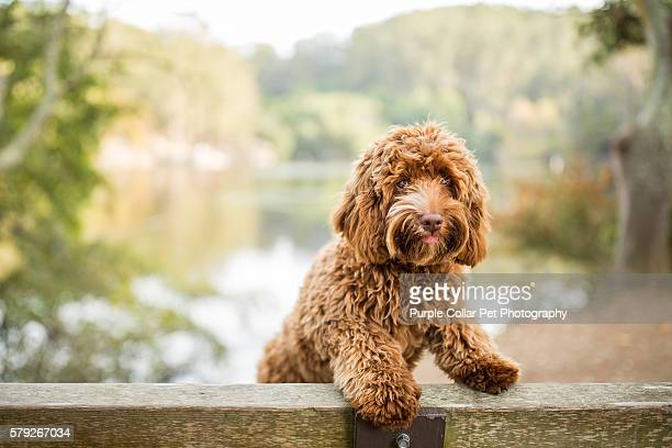 curious labradoodle puppy on park bench - labradoodle stock photos and pictures