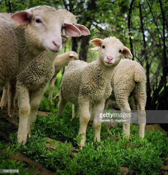 Curious Lambs in a Pasture