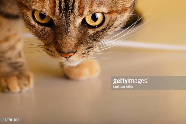 curious little domestic female cat - lori lee stock pictures, royalty-free photos & images