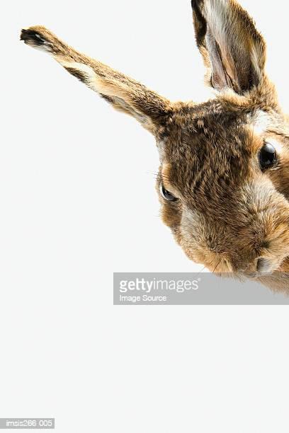 Curious looking rabbit