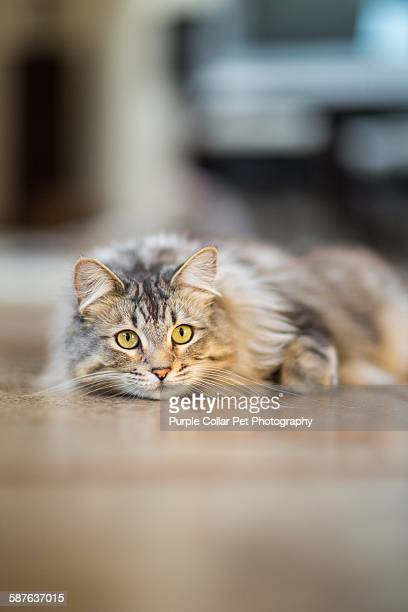 Curious Maine Coon Cat Indoors
