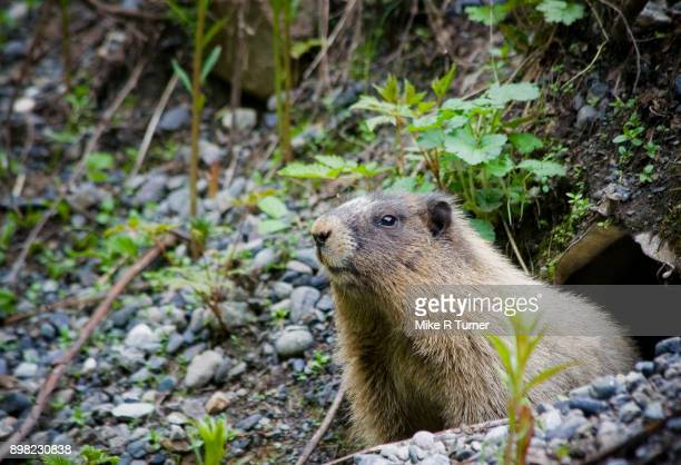 curious marmot - woodchuck stock pictures, royalty-free photos & images