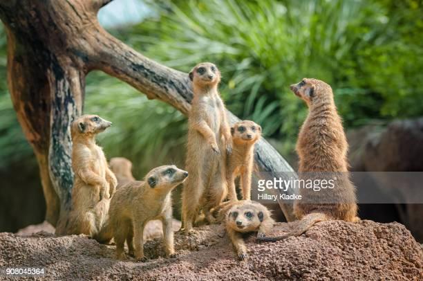Curious meerkat family