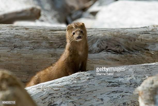 curious mink peeking up through driftwood - fauna selvatica foto e immagini stock
