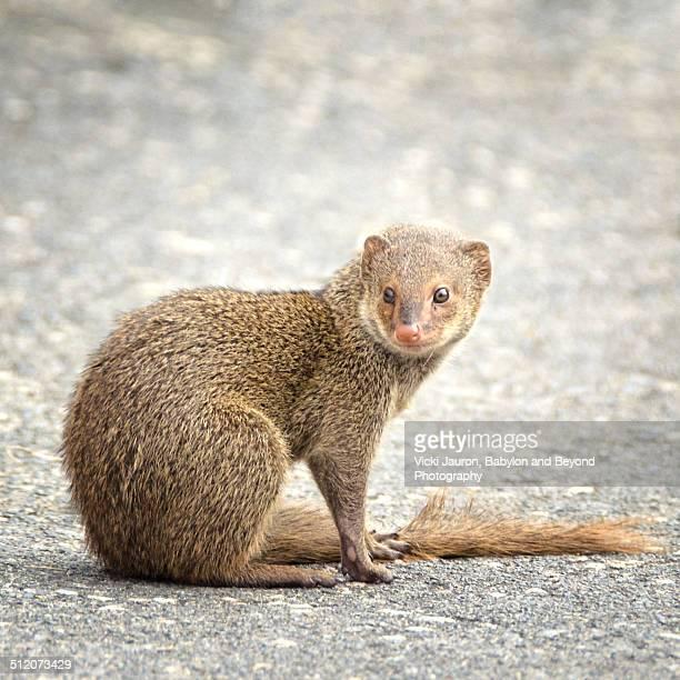Curious Mongoose at Hanauma Bay, Oahu