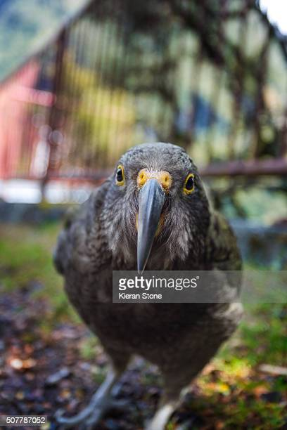 Curious New Zealand Alpine Kea Parrot