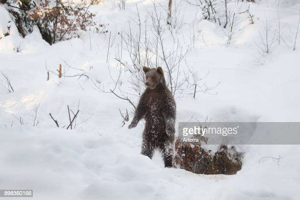Curious one year old brown bear cub standing upright on its hind legs near den in the snow in winter