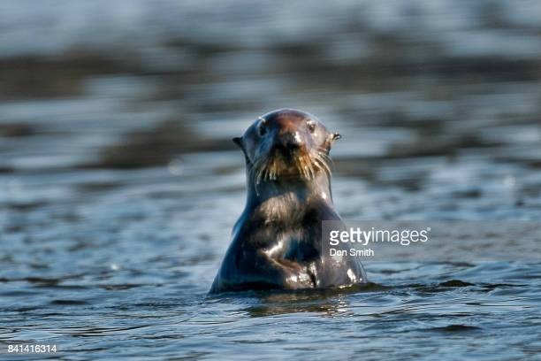 curious otter - don smith stock pictures, royalty-free photos & images