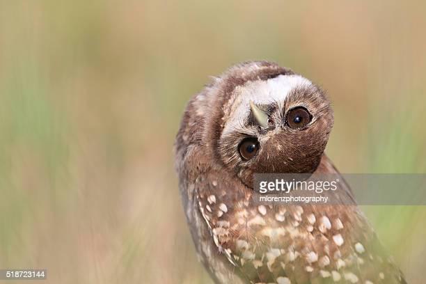 Curious Owlet