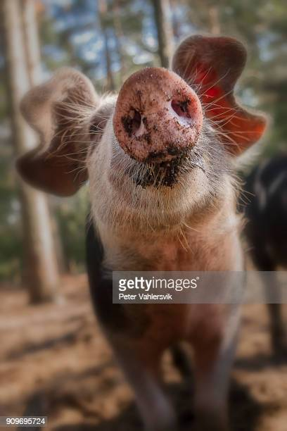 curious pig - pig nose stock pictures, royalty-free photos & images
