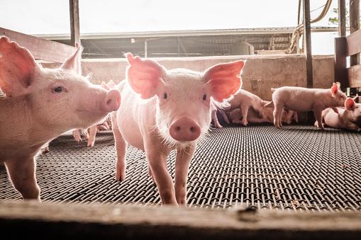 Curious pigs 810258928