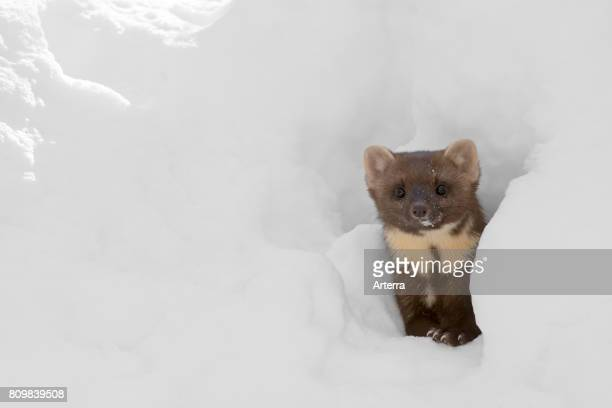 Curious pine marten looking through gap in the snow while hunting in winter