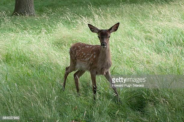 curious red deer foal, richmond park, london, england, united kingdom - accouplement cheval photos et images de collection