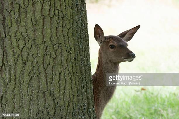 curious red deer foal, richmond park, london, england, united kingdom - femmina di daino foto e immagini stock