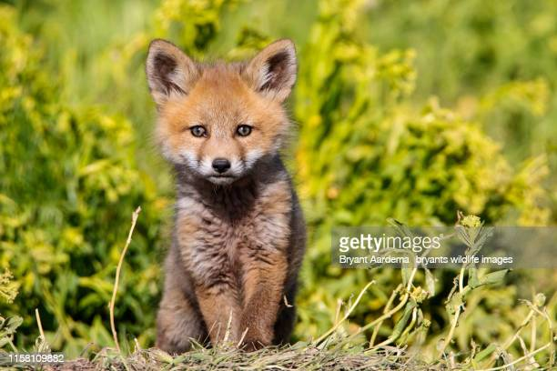 curious red fox pup - cute stock pictures, royalty-free photos & images