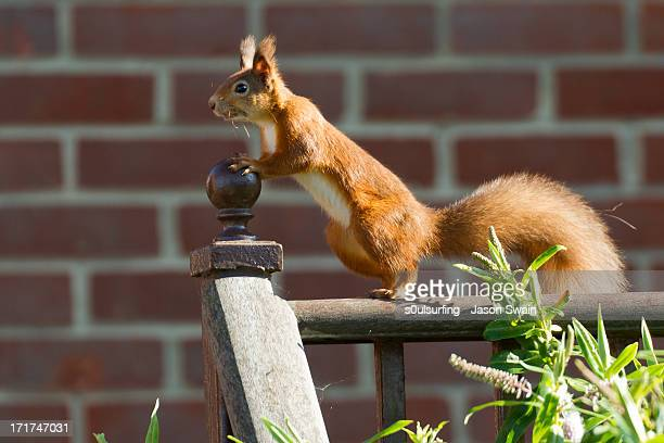 curious red squirrel - s0ulsurfing stock-fotos und bilder