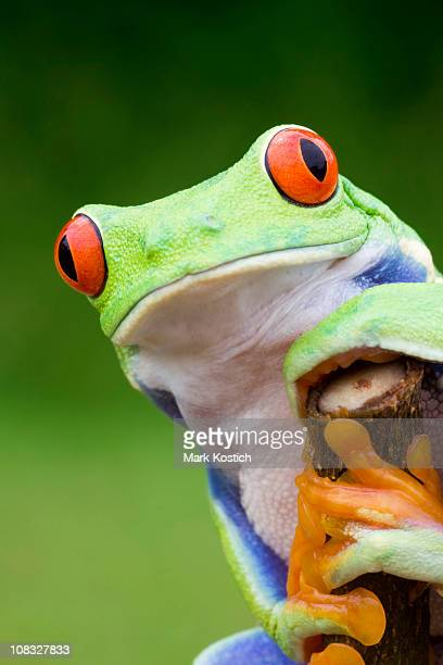 curious red-eyed tree frog - animal finger stock photos and pictures