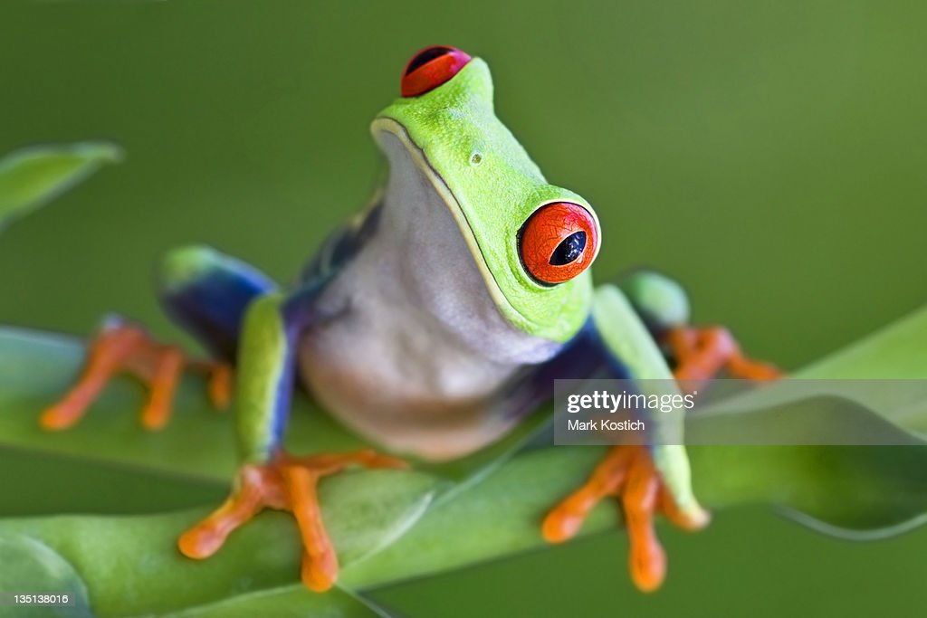 Curious Red-eyed Tree frog : Stock Photo