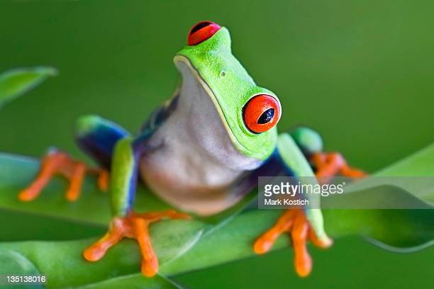 Neugierig Red-eyed Tree frog