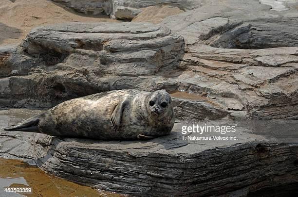 Curious Ringed Seal, Japan