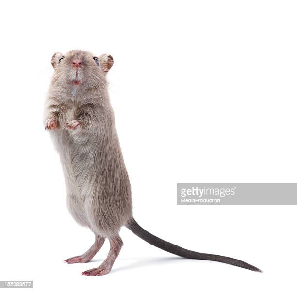 curious rodent - pest stock photos and pictures
