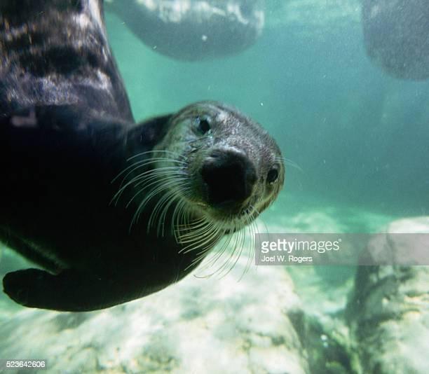 Curious Sea Otter Underwater in Aquarium