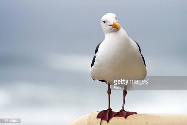 Seagull stock photos and pictures getty images curious seagull altavistaventures Image collections