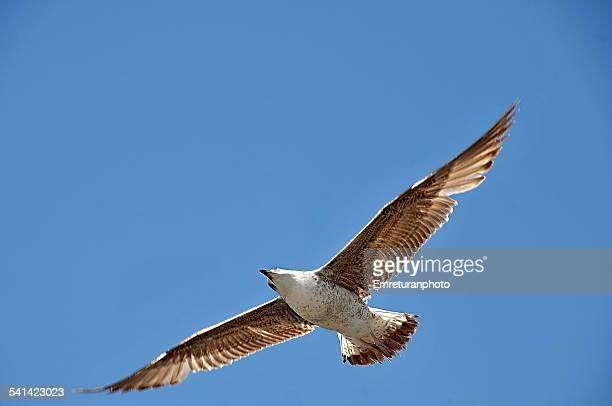 curious seagull - emreturanphoto stock-fotos und bilder