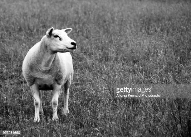 Curious sheep in a field