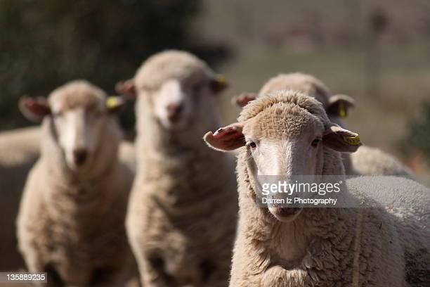 Curious sheep looking at camera