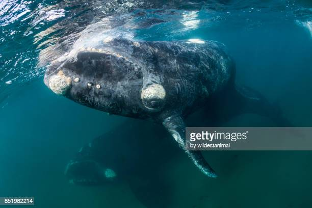 curious southern right whale calf comes to look straight at the camera as it's mother is below, valdez peninsula, patagonia, argentina. - duroni foto e immagini stock