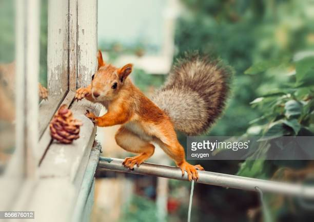 curious squirrel climbs the pipe to the balcony - リス ストックフォトと画像