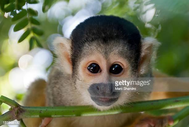Curious squirrel monkey eyes