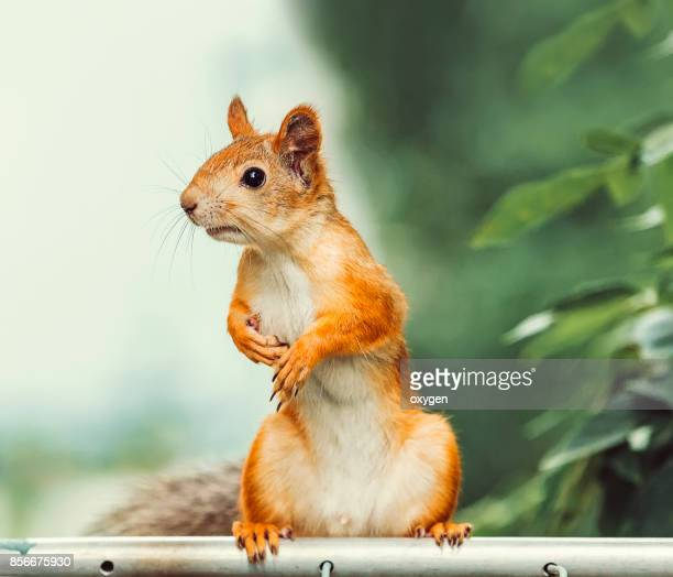 curious squirrel sitting on a metallic pole - squirrel stock pictures, royalty-free photos & images