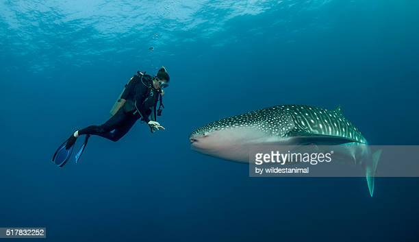 curious whale shark - whale shark stock pictures, royalty-free photos & images