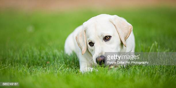 Curious yellow labrador puppy laying down outdoors