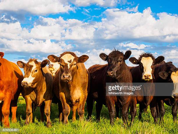 Curious young cattle stand in a row