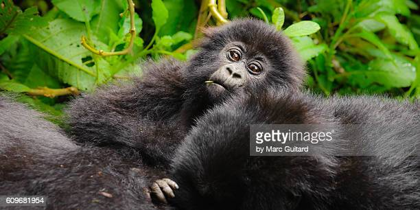 A curious young mountain gorilla (Gorilla beringei beringei) checking out the tourists under the protection of family members in Volcanoes National Park, Rwanda.