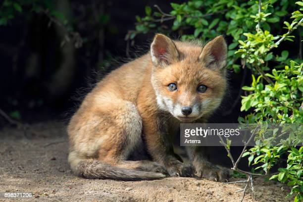 Curious young red fox single kit emerging from thicket in spring