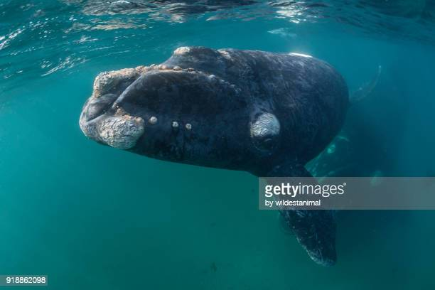 Curious young southern right whale calf comes in close as it's mother watches from below. Valdez Peninsula, Argentina.