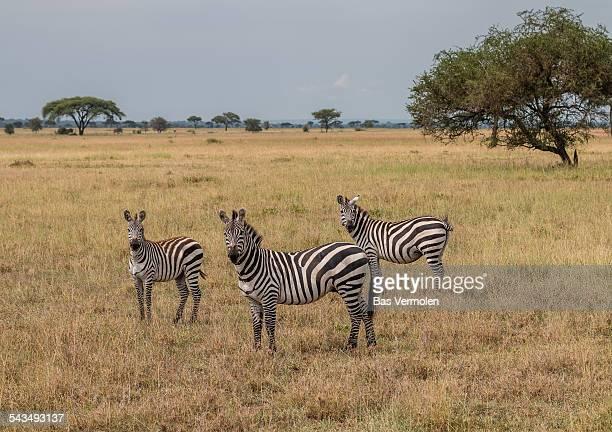 3 curious zebras, Serengeti