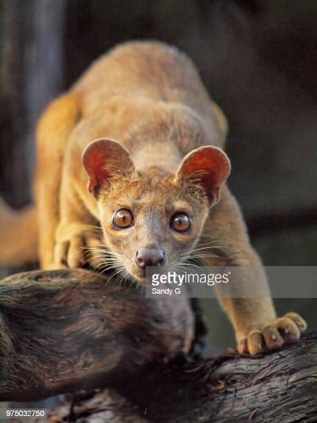 curiousity - fossa stock photos and pictures