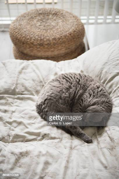 Curled up British Short Hair cat sleeping on bed beside wicker stoll